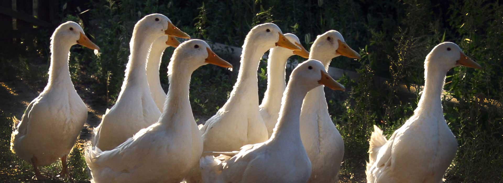 Развитие производства мяса с/х птицы